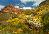 Spring wildflowers, saguaro cactus, organ pipe cactus, cholla cactus and views of Ajo mountain in Organ Pipe Cactus National Monument, Arizona USA.