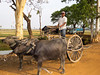 An ox cart ride through rural Cambodia near Siem Reap.
