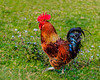 A rooster in the pasture at Ta Phin Village near Sapa, Vietnam, Asia.