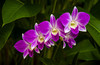 Orchids of the Cattleya family in the Singapore Botanical Gardens, Asia.