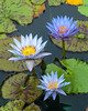 Water lilies at the Leo Mol Gardens in Winnipeg, Manitoba, Canada.