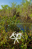 The Swamp Lily, Crinum americanum in its natural habitat of the Everglades, Florida, USA.