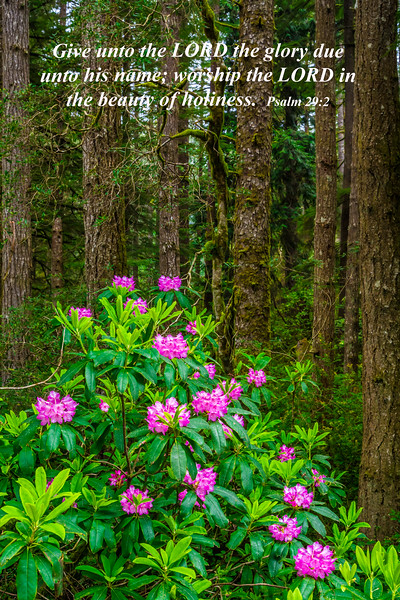 A blooming rhododendron bush in the coastal forest of rural Oregon, USA.