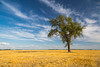A lone poplar tree in a field of harvested grain at Myrtle, Manitoba, Canada.