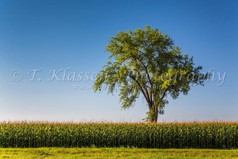 A lone tree in a corn field near Myrtle, Manitoba, Canada.