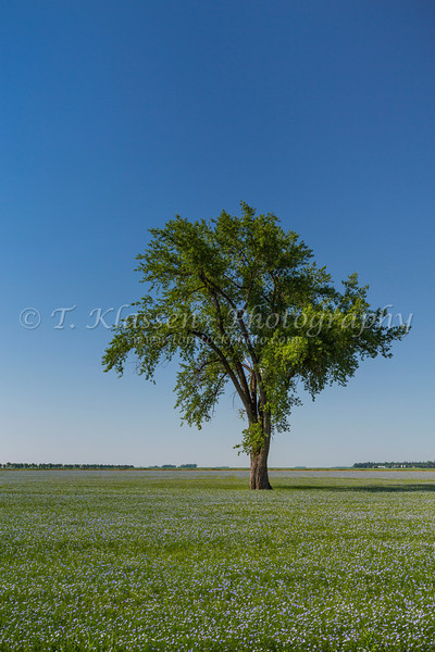 A lone tree and blooming flax field near Myrtle, Manitoba, Canada.
