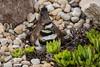A nesting killdeer in the stones at 4 Nova Dr. Winkler, Manitoba, Canada.
