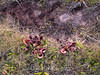 Sarracenia rosea, Burke's Pitcher Plant & tire rut; Liberty County, Florida  2005-05-01  #