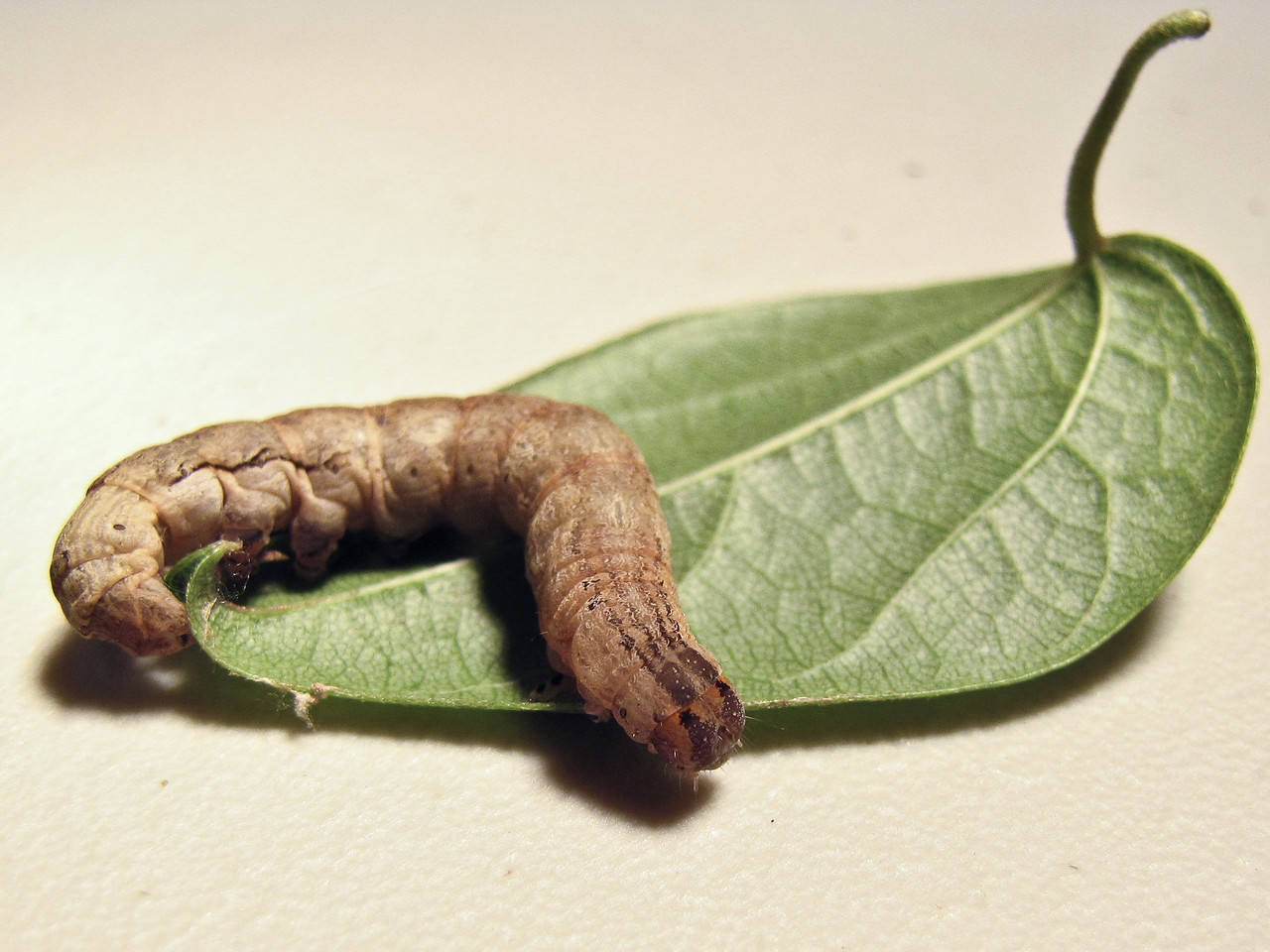 Caterpillar (larva) of Oraesia excavata, a fruit-piercing moth, on Cocculus orbiculatus (Olinda, Maui, Hawaii) (15 March 2010). Photo by Forest & Kim Starr; see  http://www.hear.org/starr/imageusepolicy.htm for image use policy.