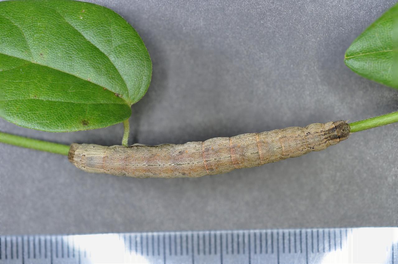 Oraesia excavata (Noctuidae) larva Photo by Will Haines.