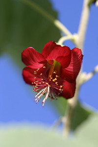 abutilon menziesii by pt