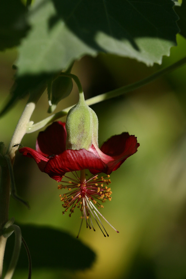 abutilon menziesii by pt3
