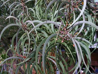 Acacia koaia (cultivated; Makawao, Maui, Hawaii)ImageID:PT20021016-01525219Copyright ©2002 by Philip A. Thomas.  Contact imagesbypt@philipt.com for permission to use.