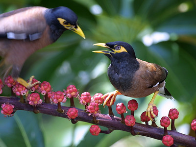 "Common myna (Acridotheres tristis) on the campus of the University of Hawaii (Manoa)This photo is by Dr. K.W. Bridges (University of Hawaii) (kim@hawaii.edu).  The photograph was copied from the website ""Common Campus Birds"" (of the University of Hawaii at Manoa) (http://www.botany.hawaii.edu/biology101/birds/campus_birds.htm).  (Dr. Bridges has kindly placed these photographs in the public domain: ""These photographs are not copyrighted and may be used without further permission."")"