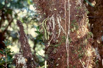 Adenophorus periens