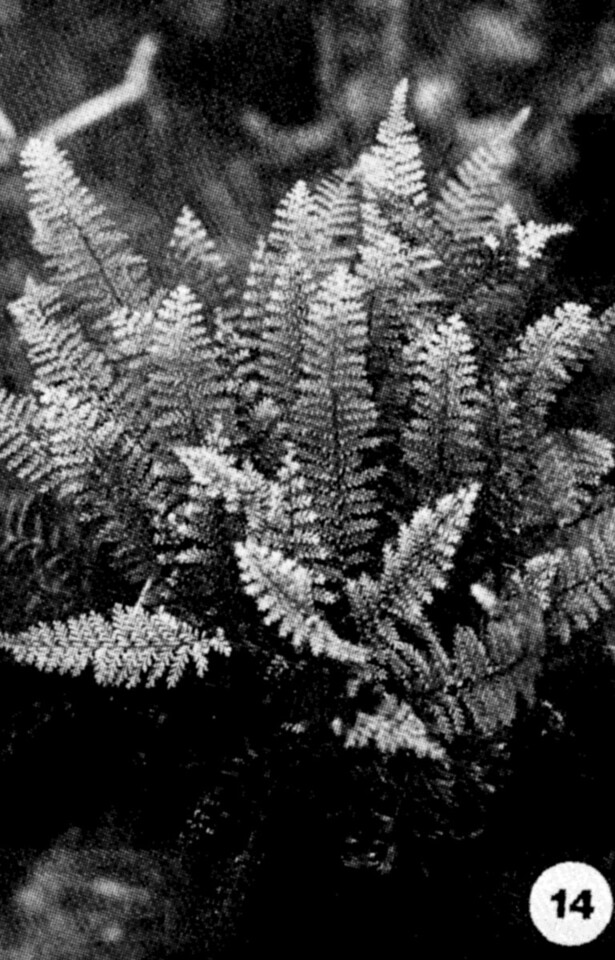 14. Adenophorus tamariscinus Image from the Kaala Bog Plant Guide: Kaala Natural Area Reserve, Mt. Kaala, Oahu, a 1992 publication of the State of Hawaii (DLNR/DOFAW) .