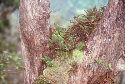 Adenophorus tamariscinus