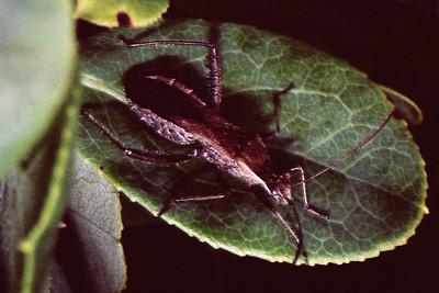Alydidae, West Maui