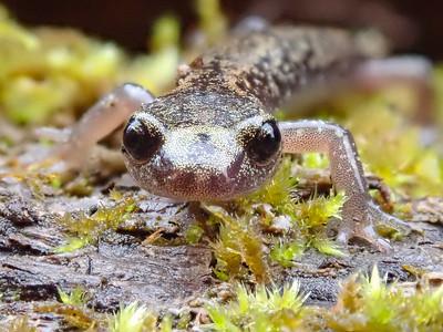Long-toed Salamander (Ambystoma macrodactylum)