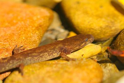 Coastal Giant Salamander (Dicamptodon tenebrosus)
