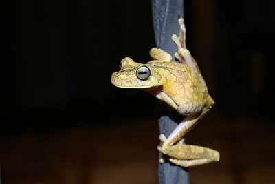 Gladiator Tree Frog (Hypsiboas rosenbergi)