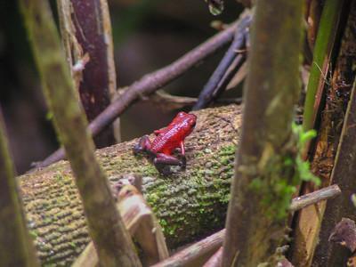 Strawberry Poison-dart Frog (Oophaga pumilio