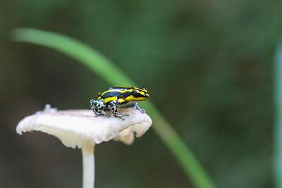 Poison Dart Frog (Ranitomeya flavovittata)