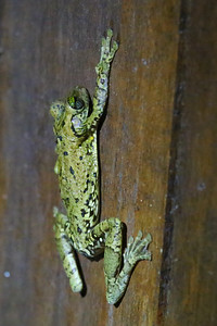 Giant Broad-headed Treefrog (Osteocephalus taurinus)