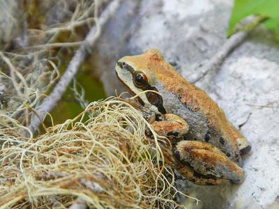 Pacific Tree Frog (Pseudacris regilla)
