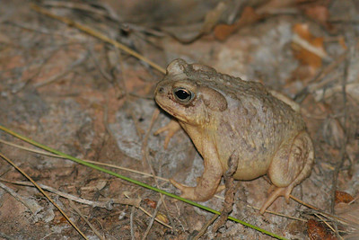 Arizona Toad (Anaxyrus microscaphus)