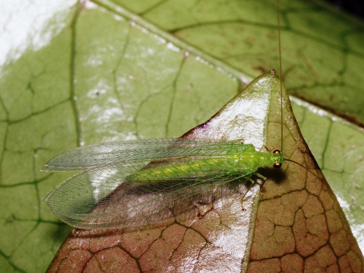 Anamolochrysa sp. (Chrysopidae), West Maui
