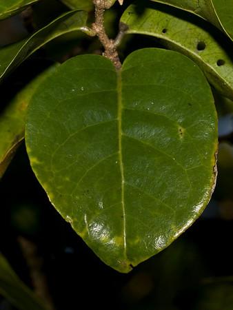Antidesma platyphyllum