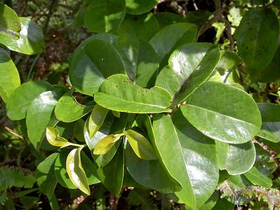 Antidesma platyphyllum platyphyllum 07