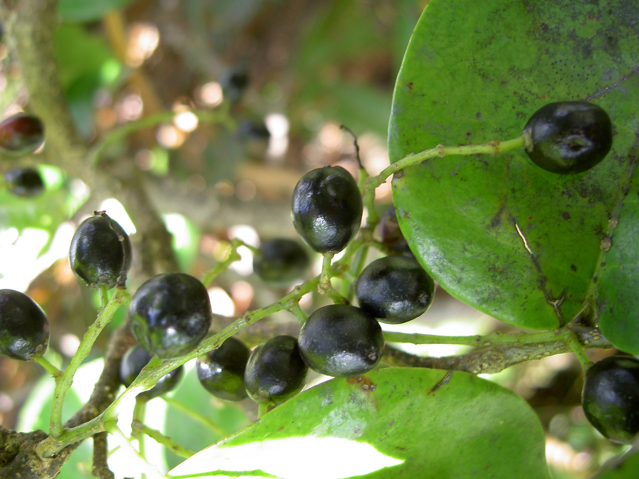 Antidesma platyphyllum platyphyllum 10