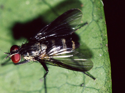 Lispocephala sp. (Diptera: Muscidae) on Antidesma platyphyllum, West Maui