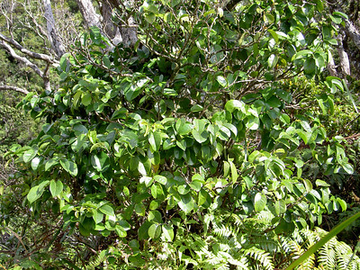 Antidesma platyphyllum platyphyllum 06