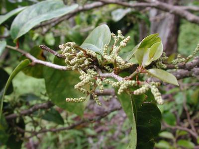 Antidesma platyphyllum platyphyllum 02