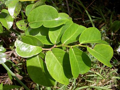 Antidesma platyphyllum platyphyllum 09
