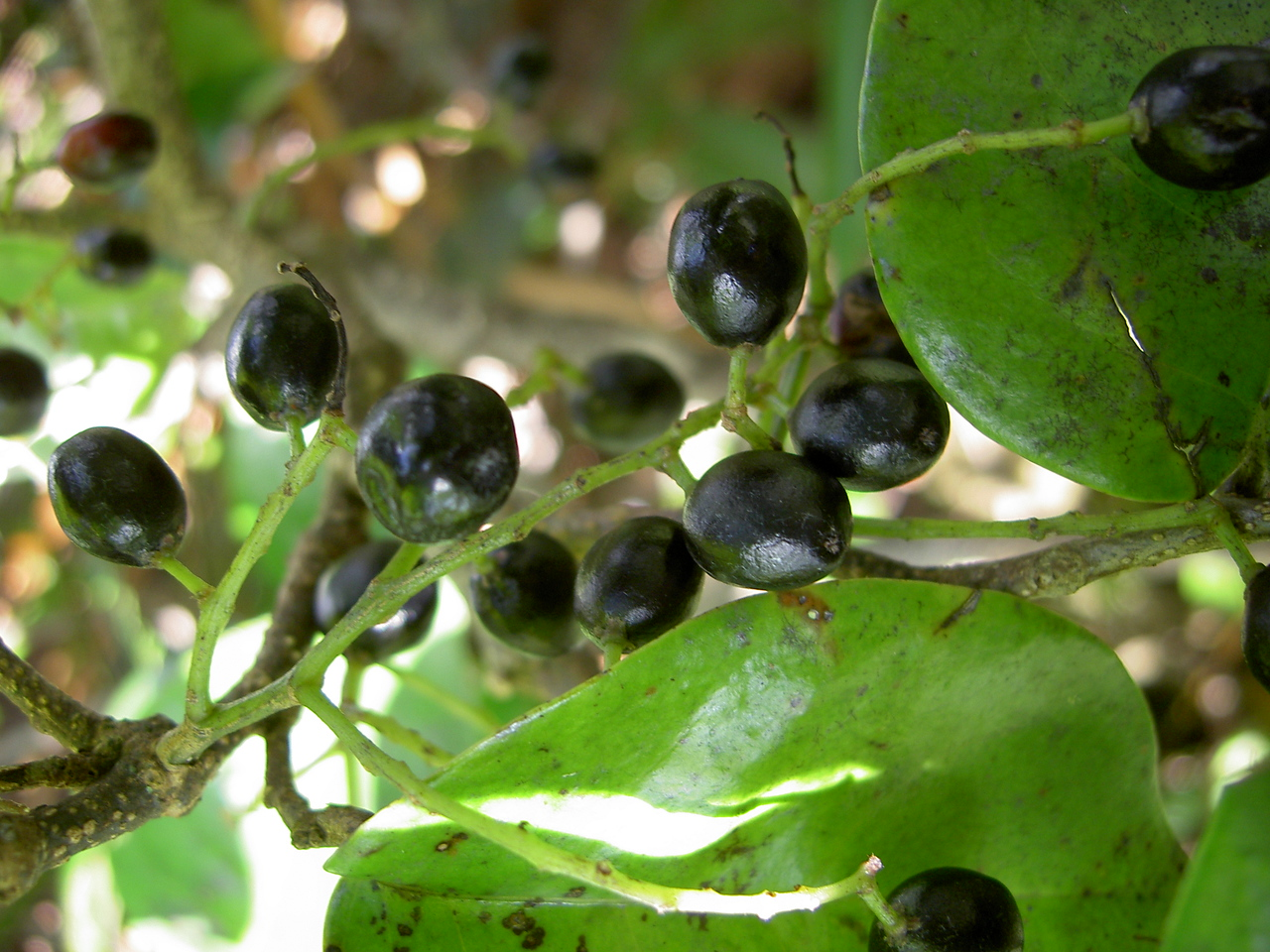 Antidesma platyphyllum platyphyllum 11