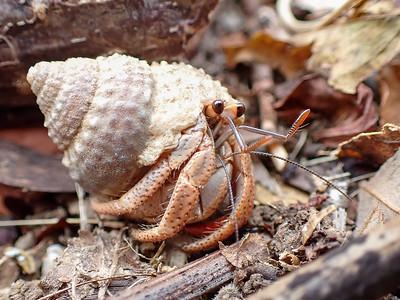 Caribbean Hermit Crab (Coenobita clypeatus)