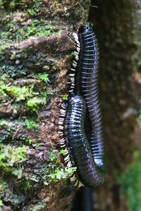 Sri Lankan Giant Millipede (Spirostreptus centrurus)