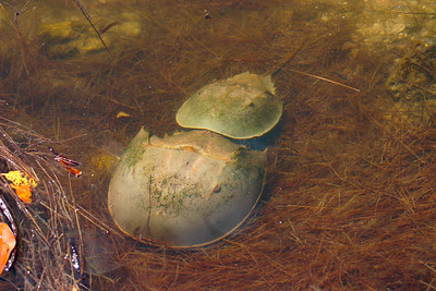 Atlantic Horseshoe Crab (Limulus polyphemus)