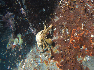 Hairy Hermit Crab (Pagurus hirsutiusculus)