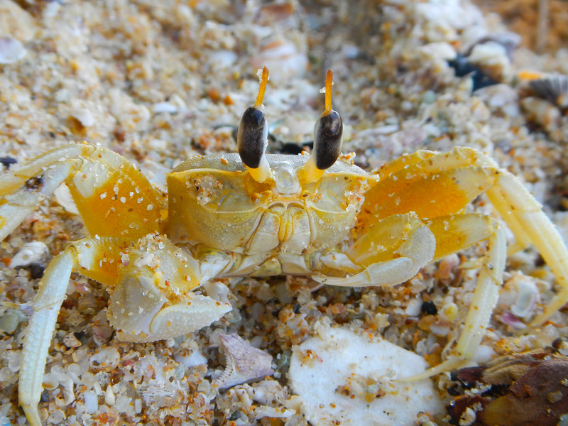 Ghost Crab (Ocypode brevicornis)