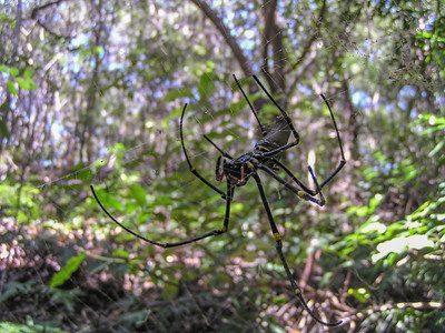 Giant Golden Orb Weaver (Nephila pilipes)