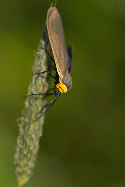 Yellow-collared Scape Moth (Cisseps fulvicollis)