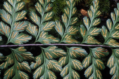 "Asplenium acuminatum (West Maui) This image is licensed under the Creative Commons Attribution-NonCommercial 3.0 Unported license.  You may share and adapt this work, but only with attribution (""by Hank L. Oppenheimer"") and only for non-commercial purposes unless permission is obtained from the copyright-holder (contact webmaster@hear.org)."