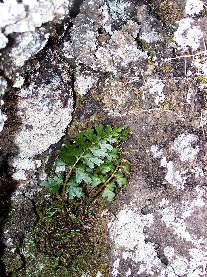 "Asplenium aethiopicum (East Maui) This image is licensed under the Creative Commons Attribution-NonCommercial 3.0 Unported license.  You may share and adapt this work, but only with attribution (""by Hank L. Oppenheimer"") and only for non-commercial purposes unless permission is obtained from the copyright-holder (contact webmaster@hear.org)."