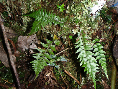 "Asplenium contiguum var. hirtulum (East Maui)This image is licensed under the Creative Commons Attribution-NonCommercial 3.0 Unported license.  You may share and adapt this work, but only with attribution (""by Hank L. Oppenheimer"") and only for non-commercial purposes unless permission is obtained from the copyright-holder (contact webmaster@hear.org)."