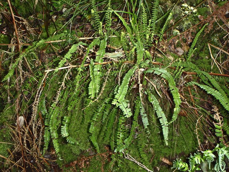"""Asplenium monanthes (East Maui)This image is licensed under the Creative Commons Attribution-NonCommercial 3.0 Unported license.  You may share and adapt this work, but only with attribution (""""by Hank L. Oppenheimer"""") and only for non-commercial purposes unless permission is obtained from the copyright-holder (contact webmaster@hear.org)."""